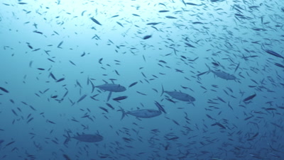 group of tuna hunting in big school of sardines