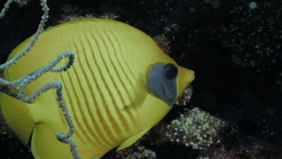 close shot of two masked butterfly fishes in coral reef