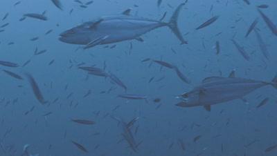 dogtooth tuna hunting and feeding on sardines, Red Sea
