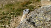 Marmot Watches Behind Blowing Grass