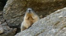 Marmot Near The Burrow. Gran Paradiso National Park