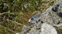 Marmot Peeps Behind A Rock, In A Wind Day. Gran Paradiso National Park