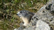 Marmot Watches From Behind A Rock, In A Wind Day. Gran Paradiso National Park