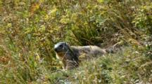 Young Marmot  In The Grass. Gran Paradiso National Park