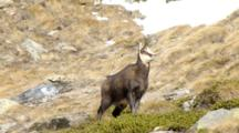 Chamois In The Gran Paradiso National Park