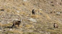 Chamois Grazing On Brown Grass,