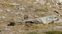 Chamois, Mother And Baby.