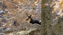 Chamois In The Larches Forest