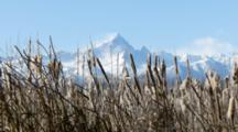 Cane Thicket, Cattails With Mountain Peak Behind