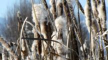Cattails Losing Seeds On Windy Day