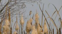 Reed Bunting In The Cane Thicket