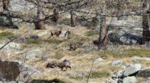 Group Of Chamois In The Larch Forest