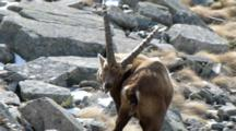 Ibex Scratching Body With Horn