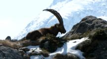 Male Of Ibex With Mountain Peak Behind