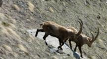 Group Of Ibex Descend Steep Mountainside
