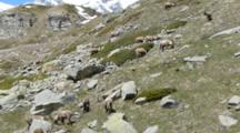 Group Of  Ibex  With Snowy Mountain Behind