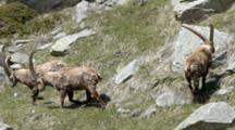 Group Of  Ibex  Fighting