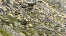 Group Of  Ibex Run Down Mountain Slope