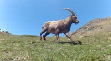 Ibex Traveling