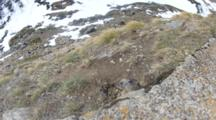 Marmot Peeps Out Of Burrow