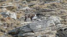 Chamois Resting On The Rock
