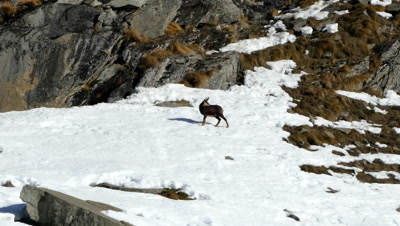 A Chamois is running on the snow