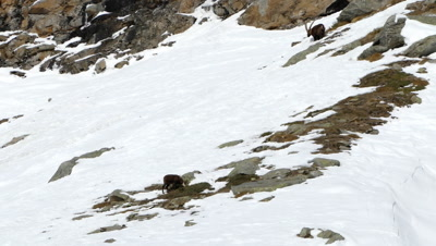 Chamois and Alpine Ibex