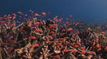 School Of Lyretail Anthias, Pseudanthias Squamipinnis, Over Hard Coral Reef