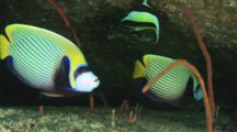 Pair Of Emperor Angelfish, Pomacanthus Imperator, In Cave