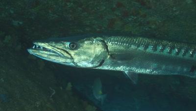 Great Barracuda, Sphyraena Barracuda, In Cavern