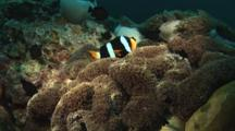 Clark's Anemonefish, Amphiprion Clarkii, And Damsels In Carpet Anemone, Stichodactyla Sp.
