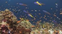 Colorful Tropical Fish Over Coral Reef Including Lyretail Anthias, Pseudanthias Squamipinnis, And Yellowback Anthias, Pseudanthias Evansi