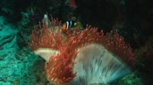 Clark's Anemonefish, Amphiprion Clarkii, In Red Bubble-Tip Anemone (Bulb Anemone), Entacmaea Quadricolor