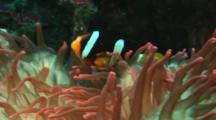Clark's Anemonefish, Amphiprion Clarkii, In Red Bubble-Tip Anemone