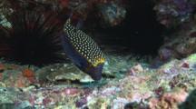 Male Whitespotted Boxfish (Spotted Boxfish), Ostracion Meleagris, Feeding On Reef