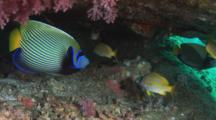 Emperor Angelfish, Pomacanthus Imperator, In Small Cave