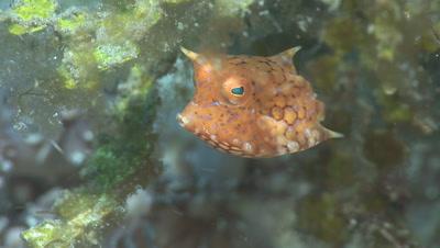 Juvenile Thornback Cowfish, Lactoria Fornasini