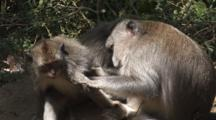 Crab-Eating Macaques, Macaca Fascicularis, Groom Each Other