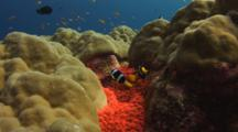 Clark's Anemonefish, Amphiprion Clarkii, In Fluorescent Red Sea Anemone In Hard Coral Bommie