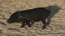 Indonesian Pig At Bunaken Island