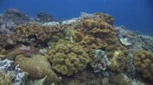 Coral Reef At Crystal Bay, Bali, With Mushroom Leather Coral, Sarcophyton Trocheliophorum