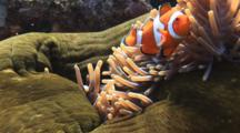 Pair Of Ocellaris Clownfish (Clown Anemonefish), Amphiprion Ocellaris, In Magnificent Sea Anemone