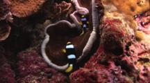 Clark's Anemonefish, Amphiprion Clarkii, On Adhesive Anemone, Cryptodemdrum Adhesivum