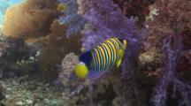 Regal Angelfish (Royal Angelfish), Pygoplites Diacanthus, Swims Amongst Soft Corals
