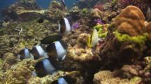 Black Pyramid Butterflyfish, Hemitaurichthys Zoster, And Vagabond Butterflyfish, Chaetodon Vagabundus