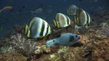 Orbicular Batfish, Platax Orbicularis, And Blackspotted Puffer, Arothron Nigropunctatus