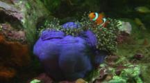 Ocellaris Clownfish (Clown Anemonefish), Amphiprion Ocellaris, In Magnificent Sea Anemone