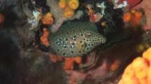 Yellow Boxfish, Ostracion Cubicus. Older Juvenile