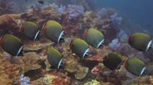 School Of Redtail Butterflyfish, Chaetodon Collare, And Bigeye Snapper, Lutjanus Lutjanus
