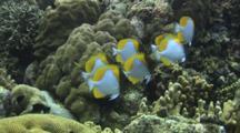 Pyramid Butterflyfish, Hemitaurichthys Polylepis, Over Coral Reef